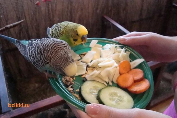 Чем кормить волнистых попугайчиков в домашних условиях