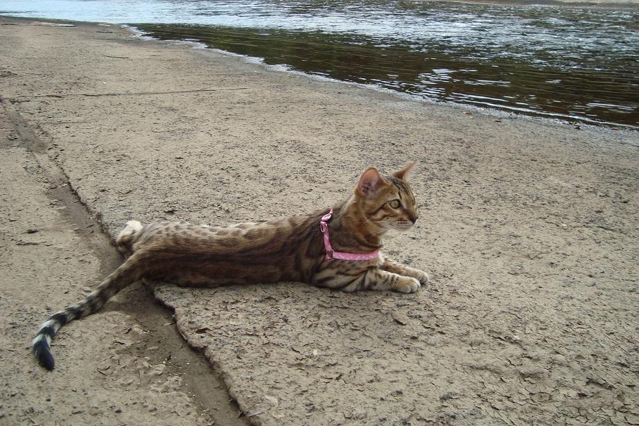 бенгальска порода кошек